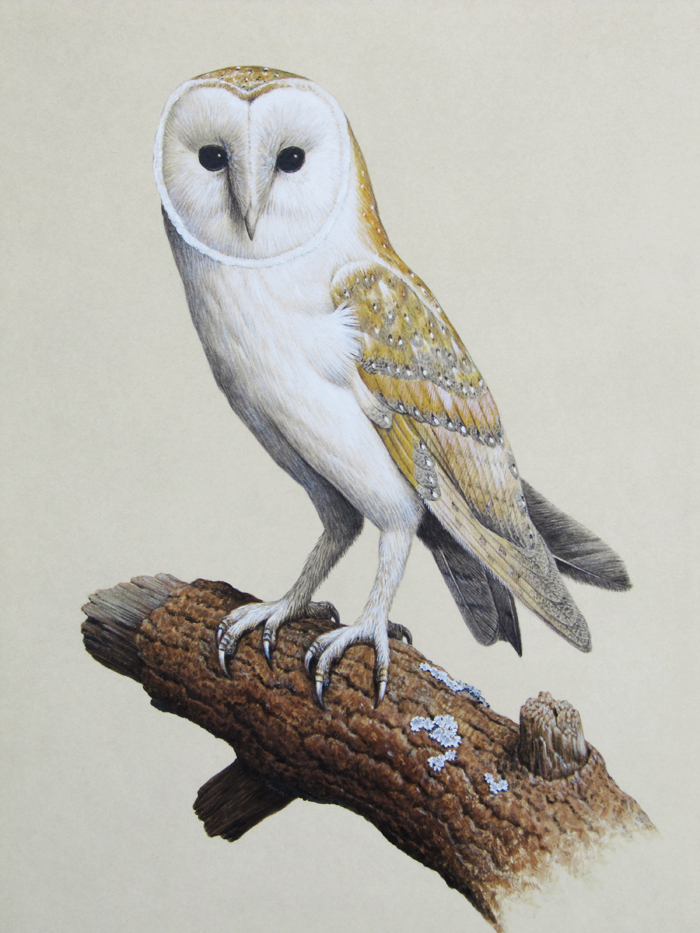 A Barn Owl In Watercolour Mall Galleries Art Consultancy