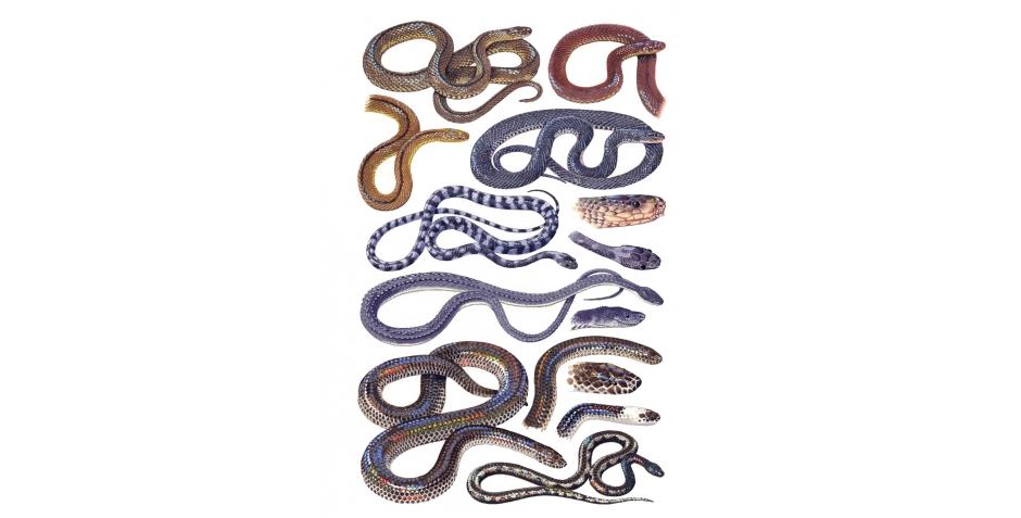 Snakes (Xenodermatidae, Xenopeltidae, Xenophidiidae)