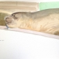 Rees-Darren-Sleeping-Elephant-Seal.jpg