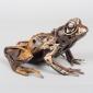 Mead Harriet Spanner Frog (1).jpg