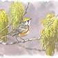 Dusen-Barry-van-Chestnut-sided-Warbler-in-flowering-Oaks.jpg