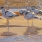 Greenhalf-Robert-Avocets-And-Ringed-Plovers.jpg