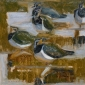 Greenhalf-Robert-Five-Lapwings.jpg
