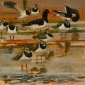 Greenhalf-Robert-Lapwings-And-Oystercatchers.jpg