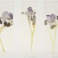 Halsby-Miranda-Irises-Nizaz-Languedoc.jpg
