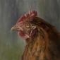 Marks-Louise-The-Hen.jpg