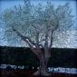 Cains-Rebecca-Olive-Tree-Italy.jpg