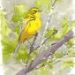 Dusen-Barry-van-Prairie-Warbler-in-Oaks.jpg