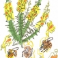 Poole-Greg-Carder-bee-on-toadflax.jpg
