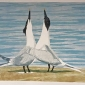 Hooper-Lisa-Sandwich-Terns.jpg
