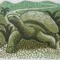 Anderson-Jim-Galapagos Tortoise.jpg