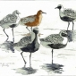 Brodde-Martin-Grey Plovers & Red Knot, Fano, the Wadden Sea.jpg