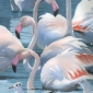 flamingoes_gemma_1.jpg
