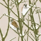Angus-Max-Winter House Sparrows.jpg