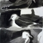 Jones-Kittie-Kittiwake-Colony.JPG