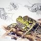 Grass Snake, Edible Frog