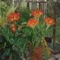 Bowey_Olwyn_The Kaffir Lily.jpg