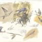 Bruce Pearson Lanner Falcon, Negev Dessert.jpg