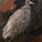 Lucie Geffré Hooden vulture