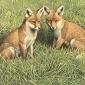 Simon-Turvey-Foxcubs.jpg