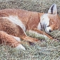 Fox Dozing by Simon Turvey
