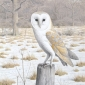 """""""Barn Owl in Winter"""" Watercolour on Paper by Simon Turvey"""