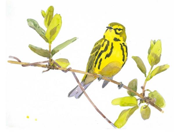 Dusen-Barry-van-Prairie-Warbler-in-Honeysuckle.jpg