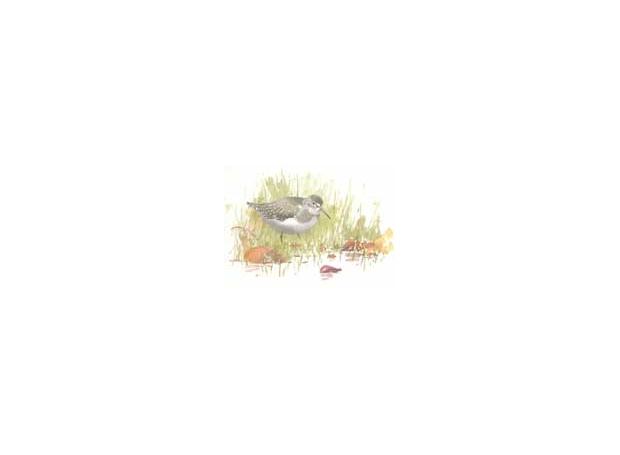 Dusen-Barry-Van--Solitary-Sandpiper,-Skunknett.jpg