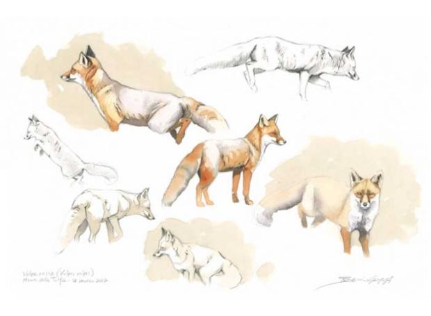 Gemma-Federico-Red-fox-sketch.jpg
