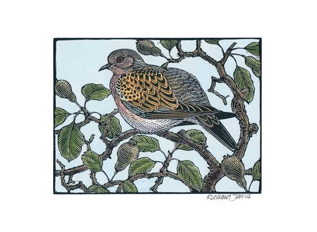 Jarvis-Richard-Turtle-Dove-in-an-old-Pear.jpg