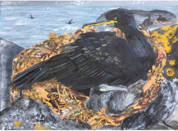 Mackay-Aimée-Nesting-Shags-on-Inner-Farne.jpg