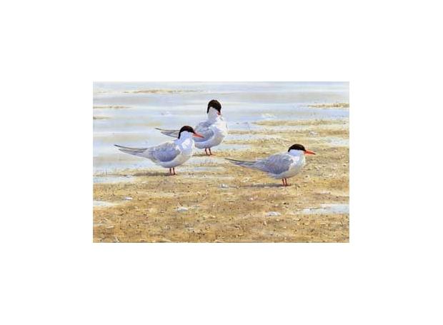 Message-Stephen-Common-Terns.jpg