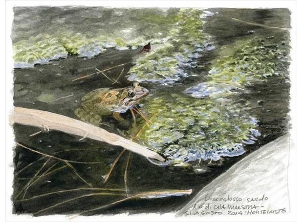 Ambrogio-Andrea-Tyrrhenian Painted Frog - Discoglosso Sardo.jpg