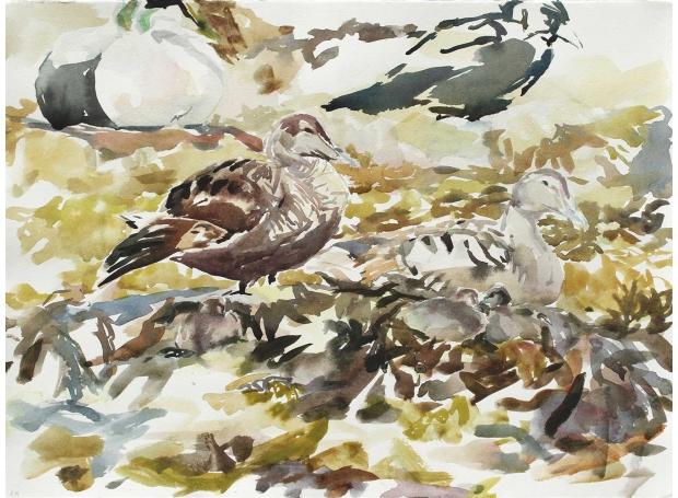 Wallbank-Chris-Eider-Ducks-And-Ducklings,-5th-June.jpg
