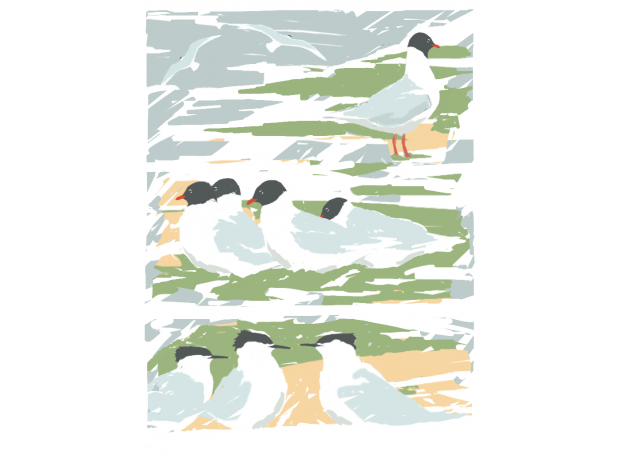 Ausden-Malcolm-Med Gull & Sadnwich Terns at Minsmere.png