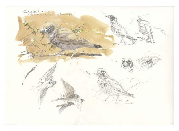Bruce-Pearson-Thick-billed-lark,-Negev-Desert.jpg
