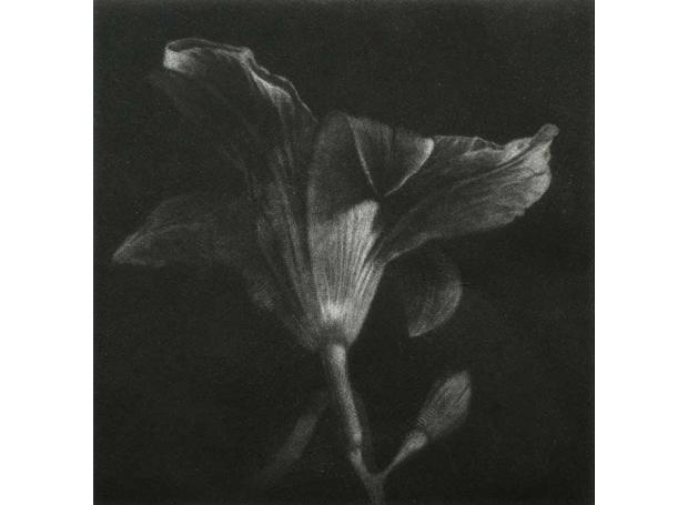 'Lily' mezzotint print by Stan Peach