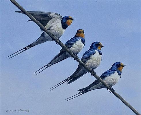 Square-Turvey-Simon-Swallows.jpg