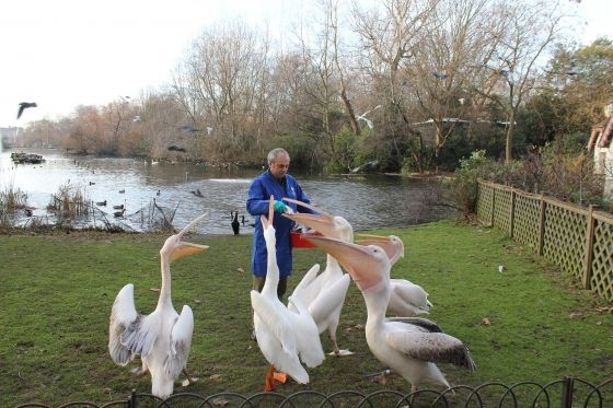 Pelican feeding at St James' Park