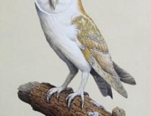 Blog Post. TURVEY. Simon. Barn Owl 2015 Commission.jpg
