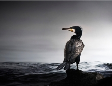 Cormorant by Max More