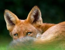 Fox by Alannah Hawker