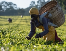 Tea harvest in Kenya
