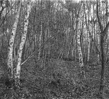Silver Birches.jpg