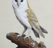 Barn Owl by Simon Turvey Image for Commission Wildlife Art blog post