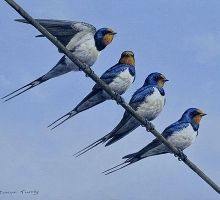 Square-Turvey-Simon-Swallows.jpg