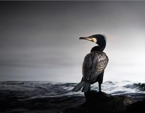 Cormorant by Max More