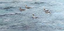 Neill-William-Long-tailed-Duck.jpg