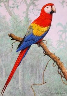 Turvey-Simon-Scarlet-Macaw-,-Amazon.jpg