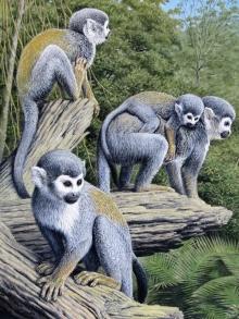 Turvey-Simon-Squirrel-Monkeys-,-Amazon.jpg